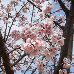 川口市東スポーツセンター桜