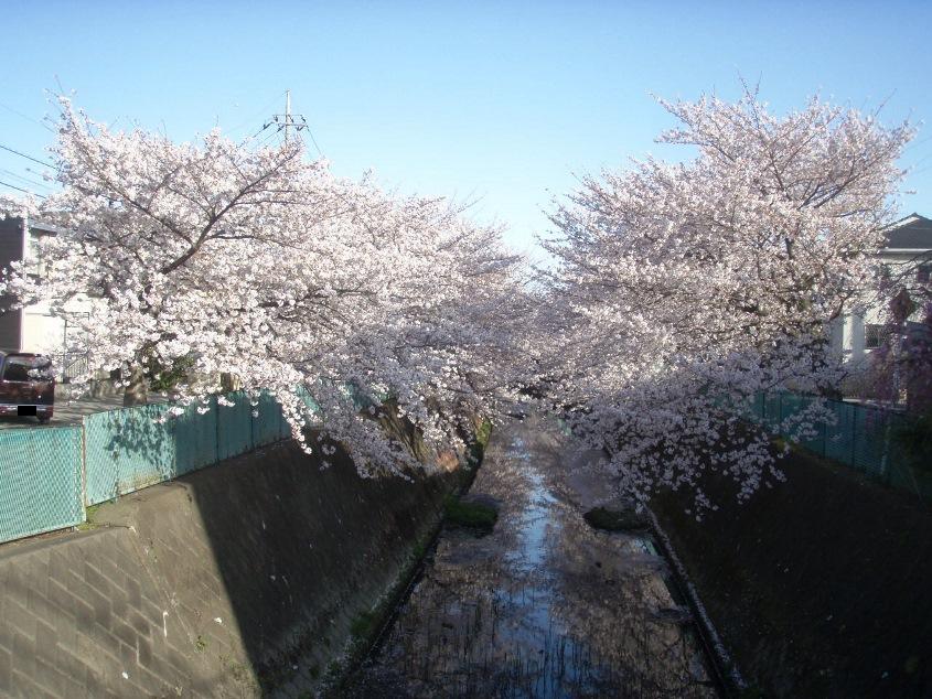 戸塚榎戸公園前 桜