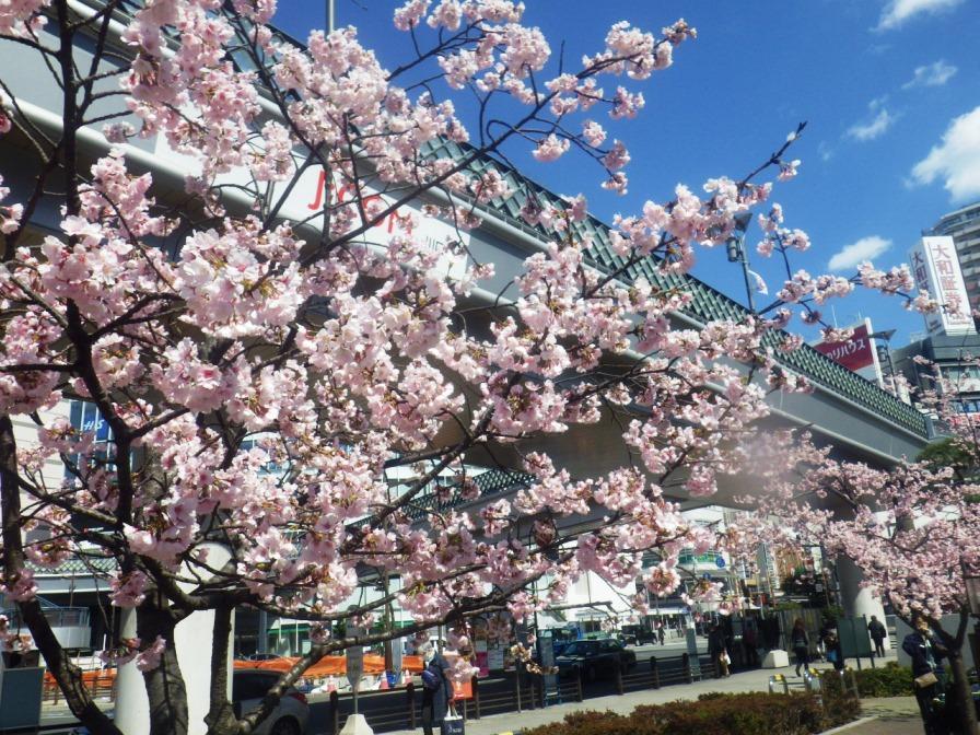 キュ・ポラ広場桜
