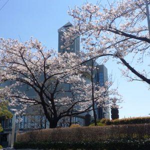 鳩ヶ谷庁舎の桜