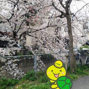 見沼代用水東縁 桜